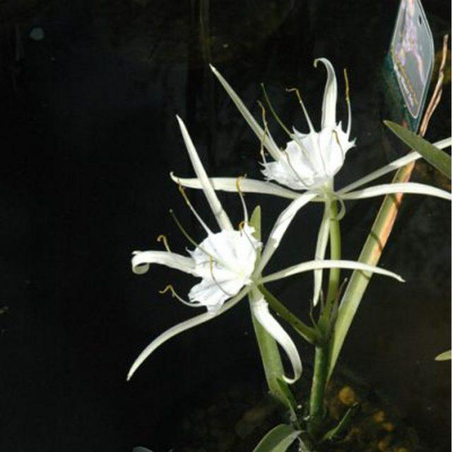 Crinum americanum (Bog Lily)