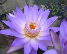 Nymphaea 'Black and Blue'