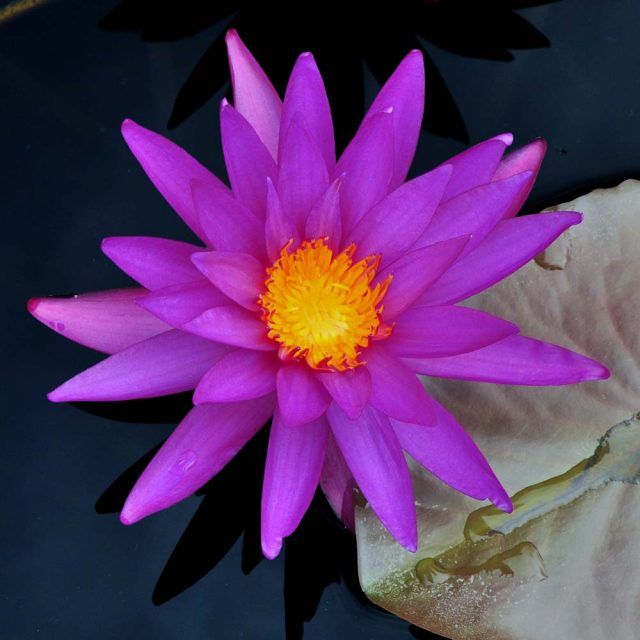 Nymphaea 'isg7' day 1