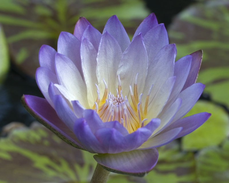 Nymphaea 'Southern Charm'