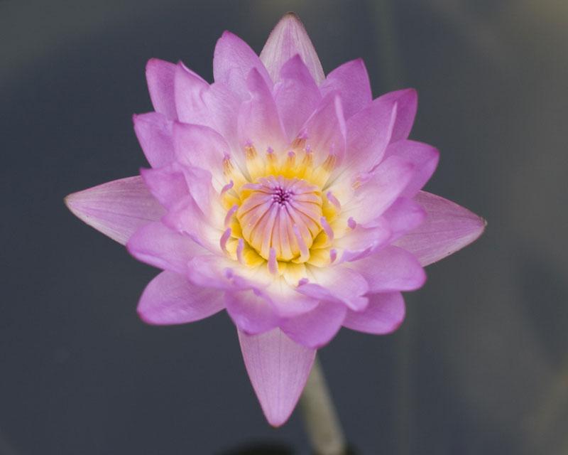 Nymphaea 'Margaret Edwards'