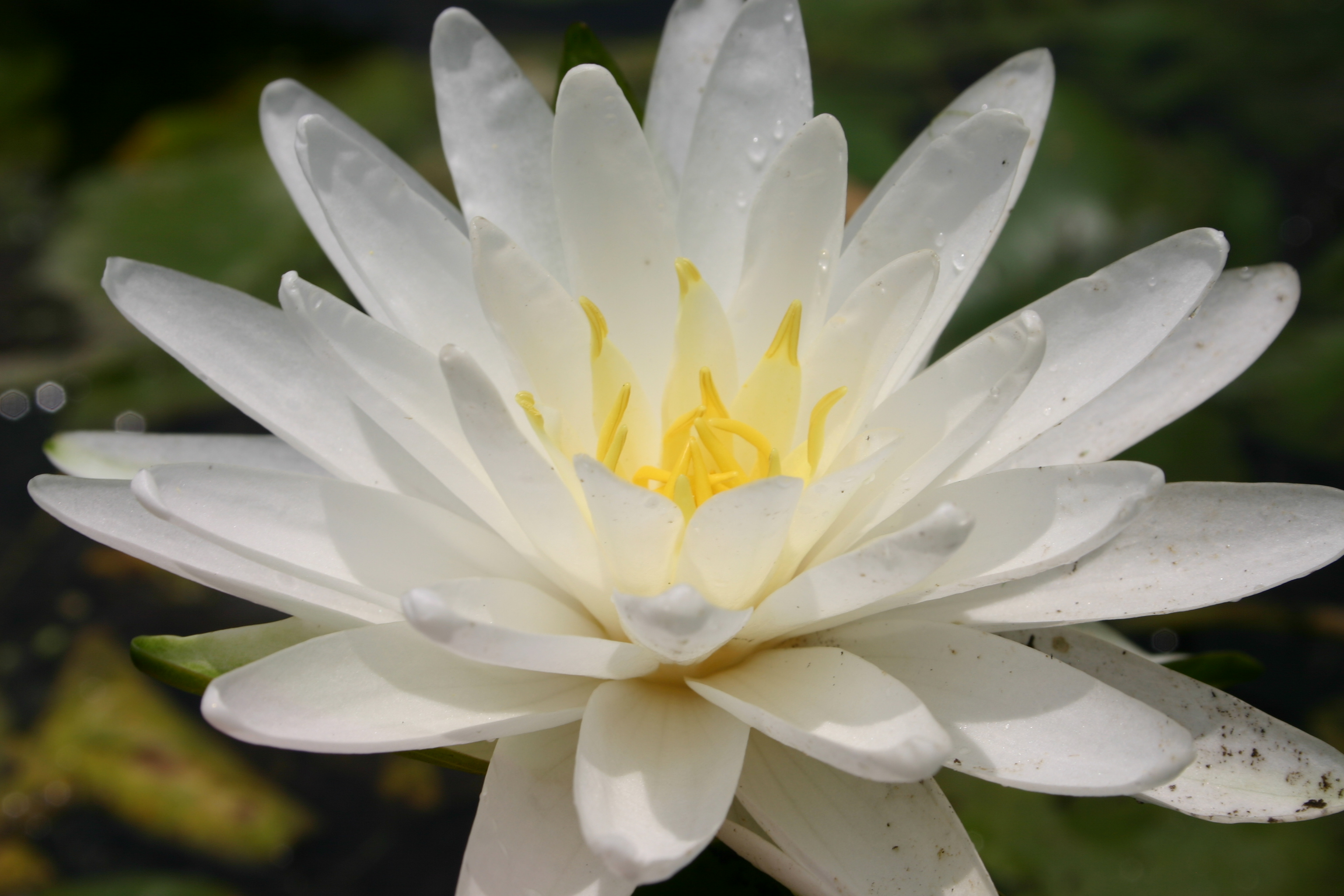 Nymphaea 'Perrys Double White'